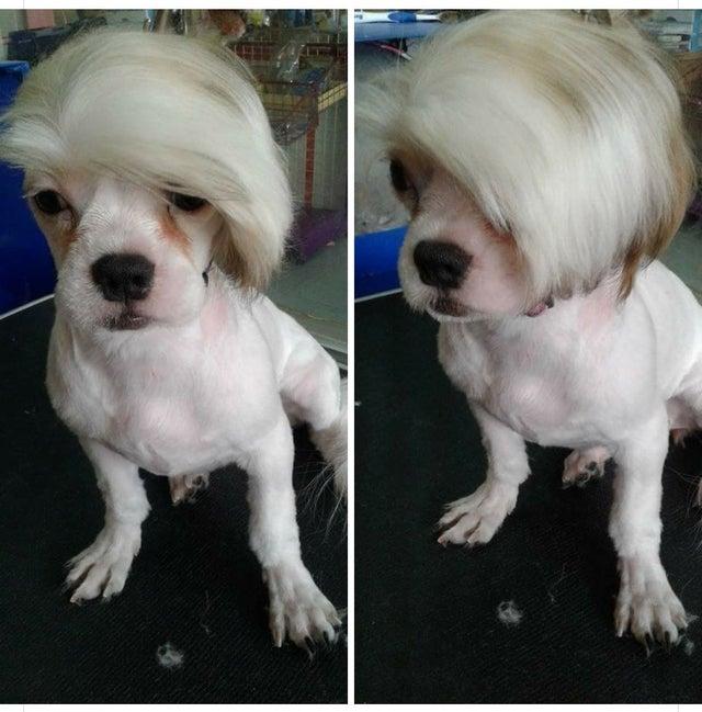 dog with hair meme template